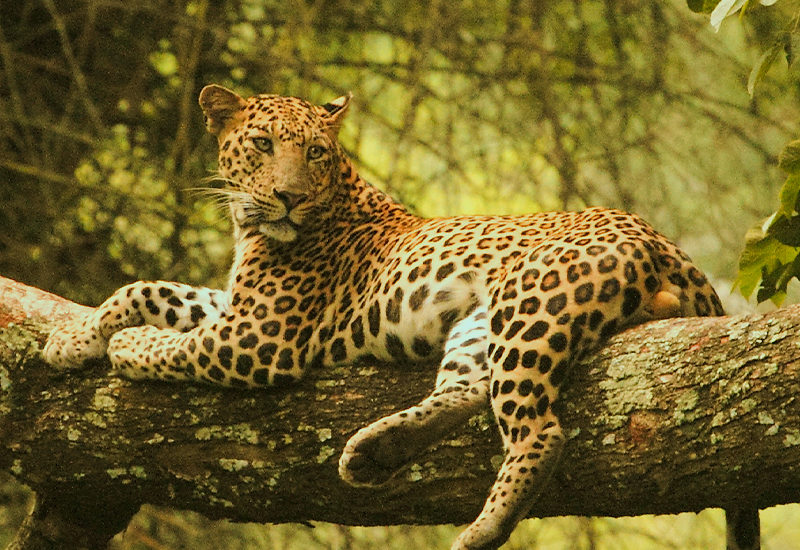 leopard in Kabini - ವನ್ಯಜೀವಿ