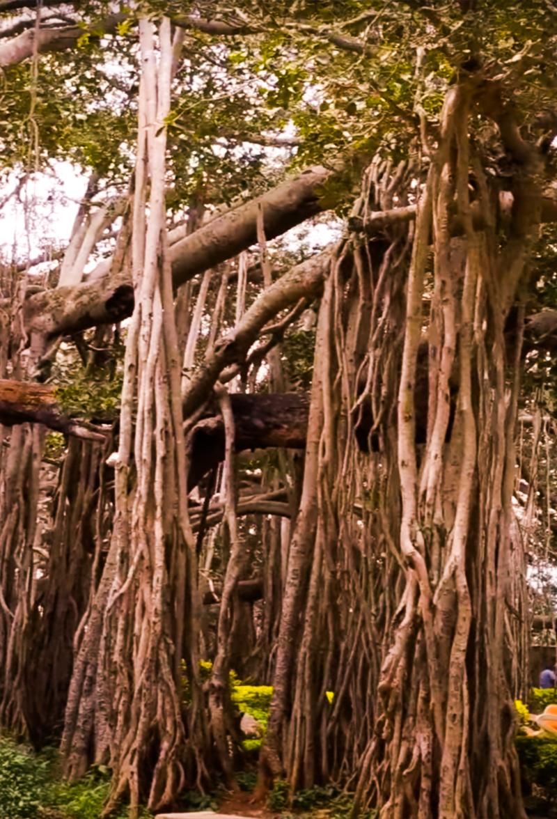 Dodda alad mara big banyan tree