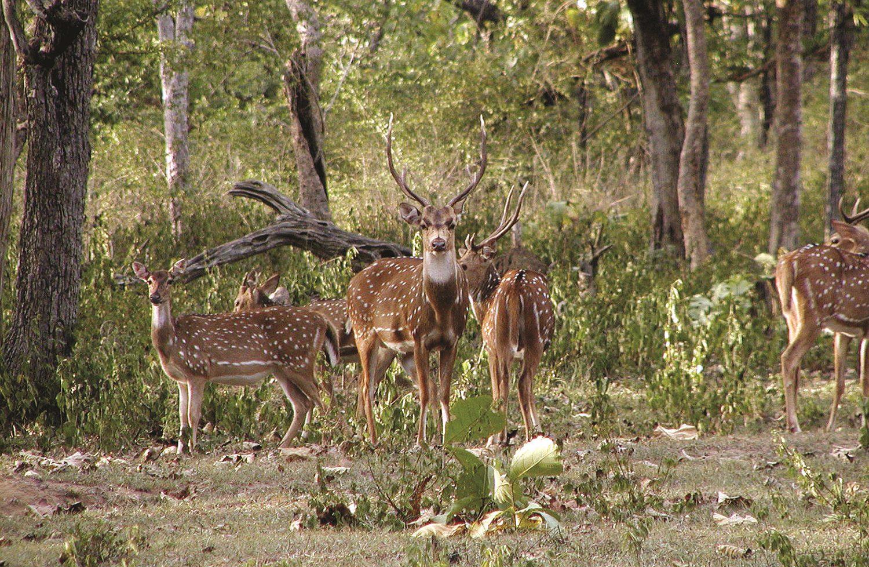 Spotted Deer Bandipura