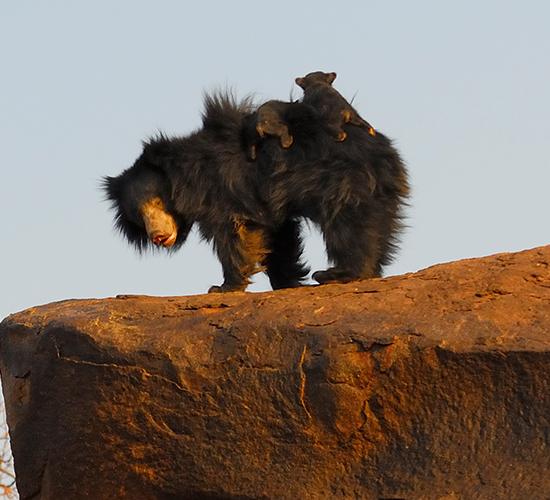 Gudekote Sloth Bear Sanctuary