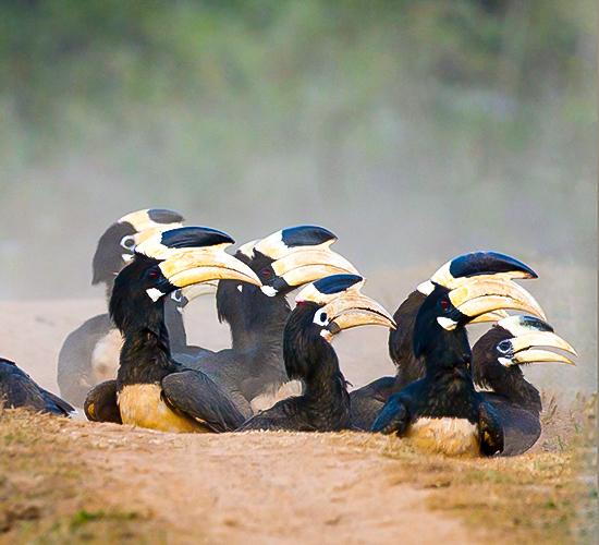 Hornbills of Dandeli