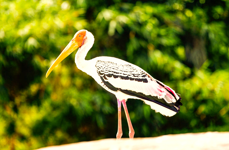 Painted Stork-Ranganathittu Bird Sanctuary