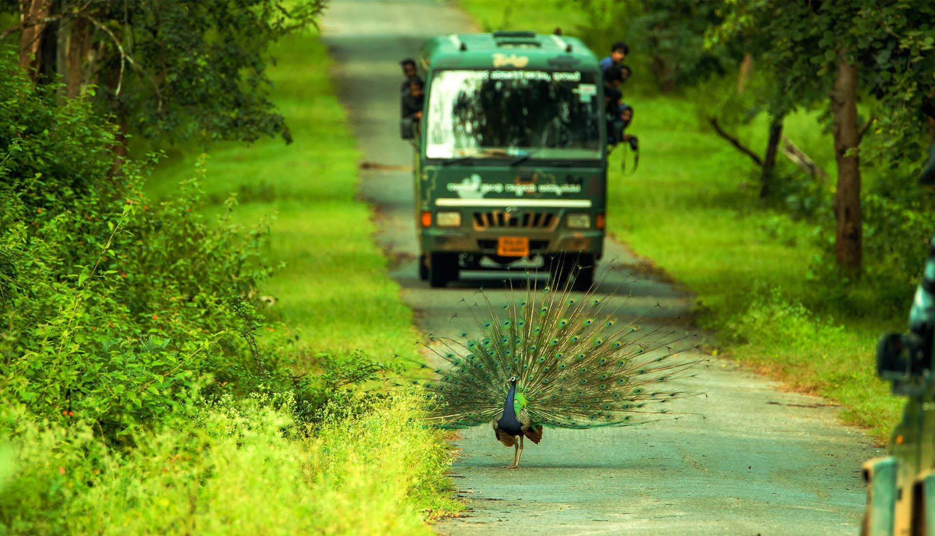 Peacock Kabini