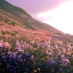 Neelakurinji Flowers 2